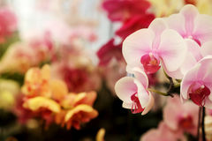 Light pink Farland orchid in colorful flower garden with soft focus background. Have some space for write wording Stock Images