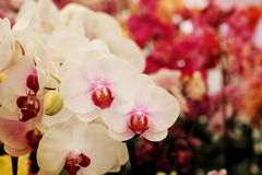 Light pink Farland orchid in colorful flower garden with soft focus background. Have some space for write wording Stock Photos