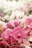 Light pink Farland orchid in colorful flower garden with soft focus background. Have some space for write wording Stock Photography
