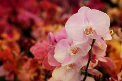 Light pink Farland orchid in colorful flower garden with soft focus background. Have some space for write wording Royalty Free Stock Image