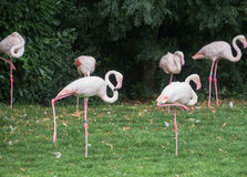 Light pink flamingoes Royalty Free Stock Image