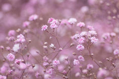 Light pink floral background of gypsophila paniculata Royalty Free Stock Photography