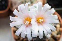 Free Light Pink Flower Of Turbinicarpus Lophophoroides Royalty Free Stock Photos - 170251478