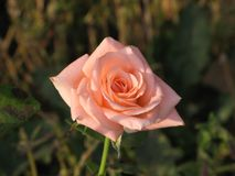 A light pink rose Royalty Free Stock Photos