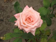 A light pink rose Stock Photos