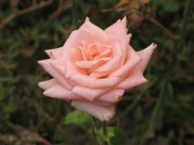 A light pink rose Royalty Free Stock Image