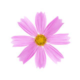Light pink flower with a yellow core on a white background Royalty Free Stock Images