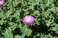 Light pink flowerhead of Persian cornflower. Light pink flower head of Persian cornflower Royalty Free Stock Photography