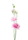 Light pink flowers of Eustoma isolated on white background Royalty Free Stock Photography