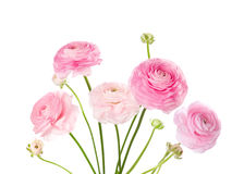 Light pink flowers isolated on white. Royalty Free Stock Image