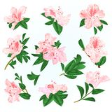Light pink flowers rhododendrons and leaves mountain shrub on a blue background vintage vector illustration editable. Hand draw stock illustration