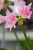 Light Pink flowers vivid white blurred background Royalty Free Stock Photography