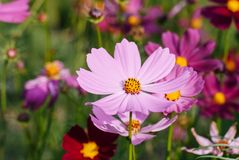 Light pink full-bloomed daisy flower focused macro on its pollen with other daisies blurred in background royalty free stock image