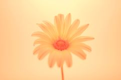 Light pink gazania Stock Photography