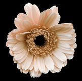 Light pink gerbera flower, black isolated background with clipping path.   Closeup.  no shadows.  For design. Stock Image