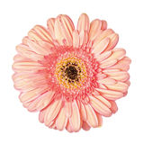 Light Pink Gerbera Flower Isolated Stock Photos