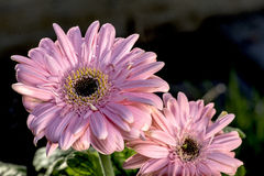 Light pink Gerbera with Water Drops Royalty Free Stock Images