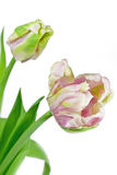 Light pink and green tulips Royalty Free Stock Image