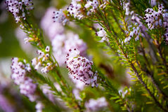 Light pink heath plant blossoming close up. Lightp ink heather plant blossoming, close up image Stock Image