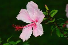 Light Pink Hibiscus Royalty Free Stock Photo