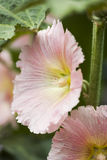 Light Pink Hollyhock Flower Royalty Free Stock Image