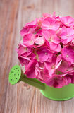 A light pink hydrangea flower in a green watering can Stock Images