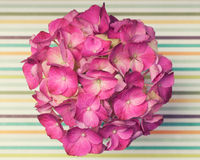 A light pink hydrangea flower on a stripped surface Royalty Free Stock Image
