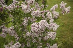 Light-Pink Indian lilac in the garden. Beautiful bunch of flowers on a green background. royalty free stock photo