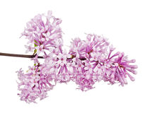 Light pink lilac inflorescence on white Stock Photos