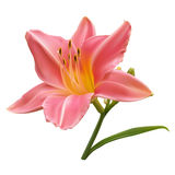 Light pink lily. With buds and leaf Stock Photography