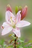 Light pink lily against soft background. Light pink lily against blurry background stock photo