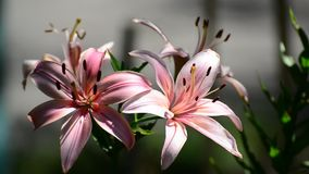 Light pink lily on a sunny day. Beautiful Light pink lily on a sunny day stock video footage