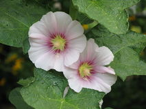 Light pink mallows. Light pink mallow flowers and green leaves Stock Photography