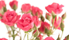 Light pink miniature roses Stock Photography