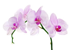 Light pink orchid flower branch on white Stock Photos