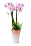 Light pink orchid flowers isolated on white background Royalty Free Stock Images
