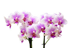 Light pink orchid flowers isolated on white background Stock Image