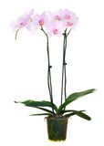 Light pink orchid flowers in pot isolated on white Stock Image