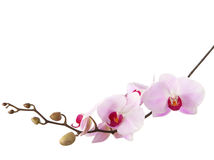 Light pink orchid Royalty Free Stock Photography