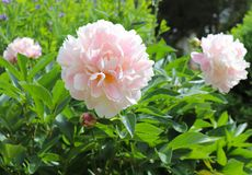 Light Pink Peonies Brighten Up the Garden in Spring. Fullsome flowers like these light pink peonies brighten up a garden. Spring is the time for them to bloom stock image
