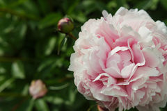 Light pink peony flower opened up on right. Royalty Free Stock Image
