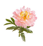 Light-pink peony flower, stem and leaves on white Stock Photos