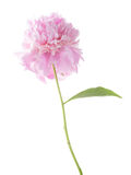 Light pink peony Royalty Free Stock Image