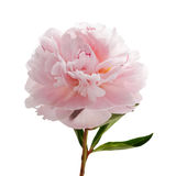 Light pink peony isolated on white Royalty Free Stock Photos