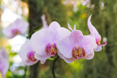 Light pink Phalaenopsis orchid. On green background Royalty Free Stock Photo