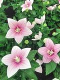 Light pink Platycodon balloon flowers royalty free stock photos