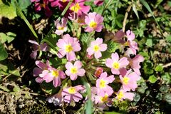 Light pink Primrose or Primula vulgaris small flowers with yellow center and thick dark green leaves surrounded with grass and stock images