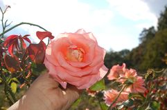 A light pink rose held in hand in a field stock images