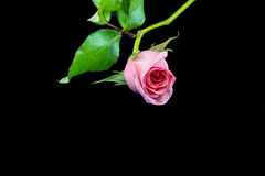 Light pink rose on black background Royalty Free Stock Photography