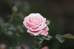 Light pink rose Stock Photo
